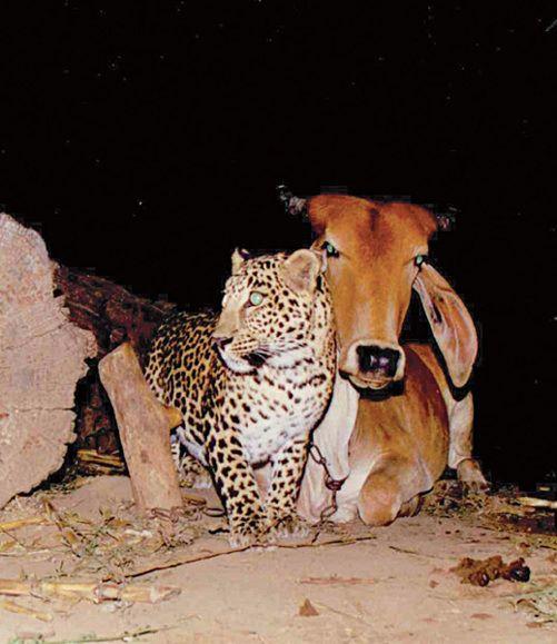 Cow-Leopard