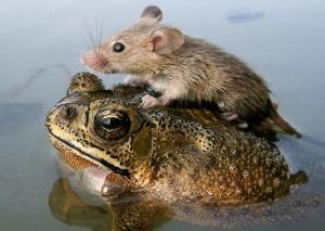 Frog-Mouse